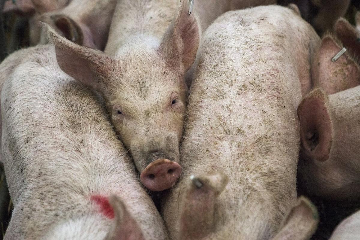 Publicado el Estudio de Impacto Ambiental de la nueva granja porcina de Priego