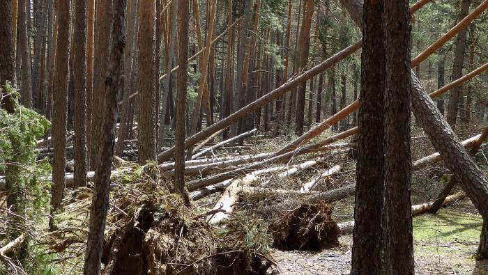 pinos nieve